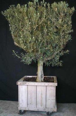 Olijfboom ca. 250 cm met steigerhouten ombak  verhuur