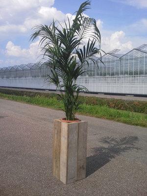 Kentia palm in steigerhoutenzuil (totaal ca. 300 cm) uitsluitend voor binnengebruik verhuur