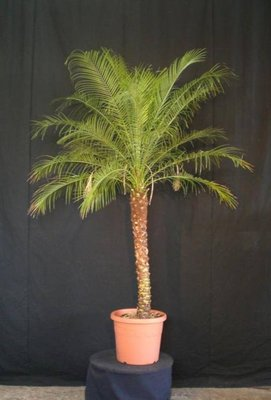 Phoenix Roebelenii palm boom ca. 180/200 cm verhuur