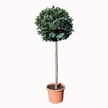 Laurier bol op stam ca. 170 cm verhuur