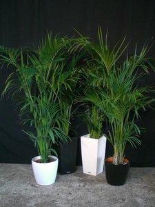 Kentia palm ca. 200 cm in sierpot (Uitsluitend binnengebruik!!) verhuur