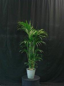 Kentia palm ca. 200 cm standaard (Uitsluitend binnengebruik!!) verhuur